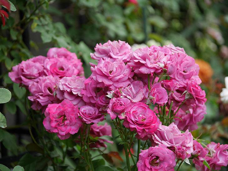 プラムダンディ(ミニバラ)の花がまた房でたくさん咲いた。2019年-8.jpg
