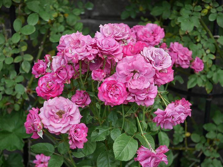 プラムダンディ(ミニバラ)の花がまた房でたくさん咲いた。2019年-9.jpg