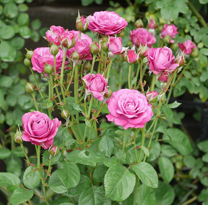 プラムダンディ(ミニバラ)の花がまた房で咲いた。2019年-1.jpg
