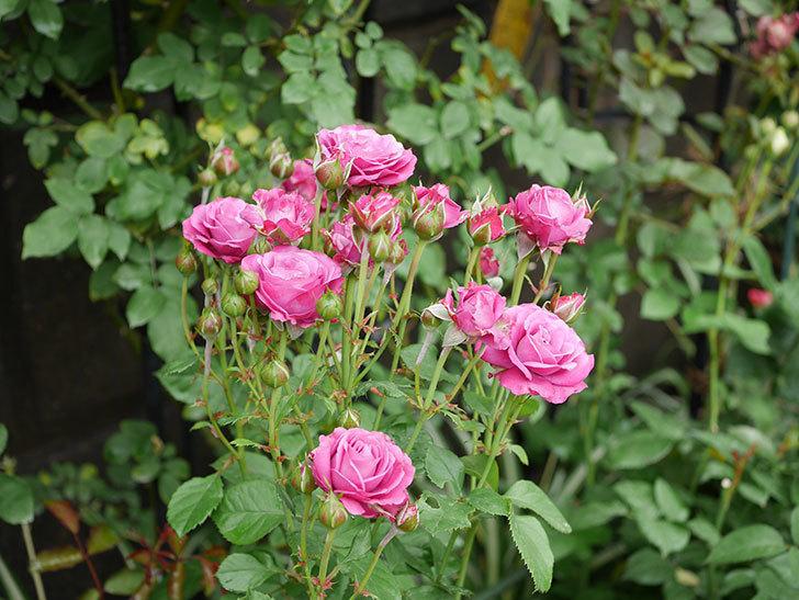 プラムダンディ(ミニバラ)の花がまた房で咲いた。2019年-11.jpg
