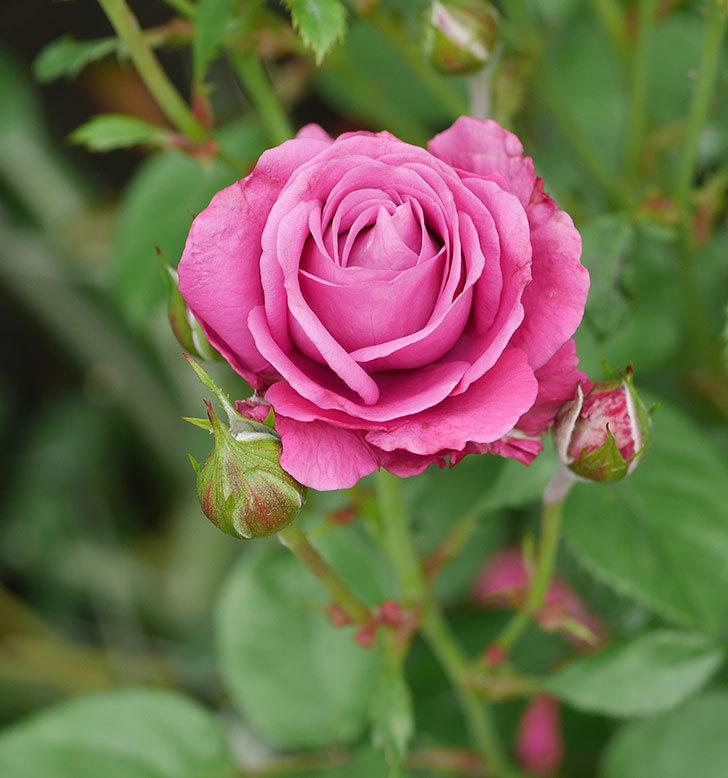 プラムダンディ(ミニバラ)の花がまた房で咲いた。2019年-12.jpg