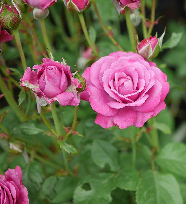 プラムダンディ(ミニバラ)の花がまた房で咲いた。2019年-13.jpg