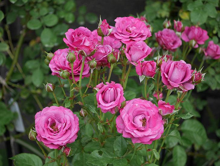 プラムダンディ(ミニバラ)の花がまた房で咲いた。2019年-14.jpg