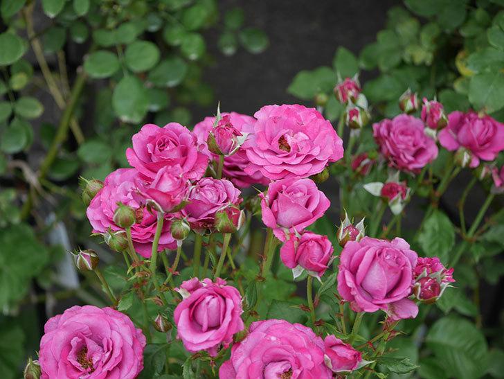 プラムダンディ(ミニバラ)の花がまた房で咲いた。2019年-15.jpg