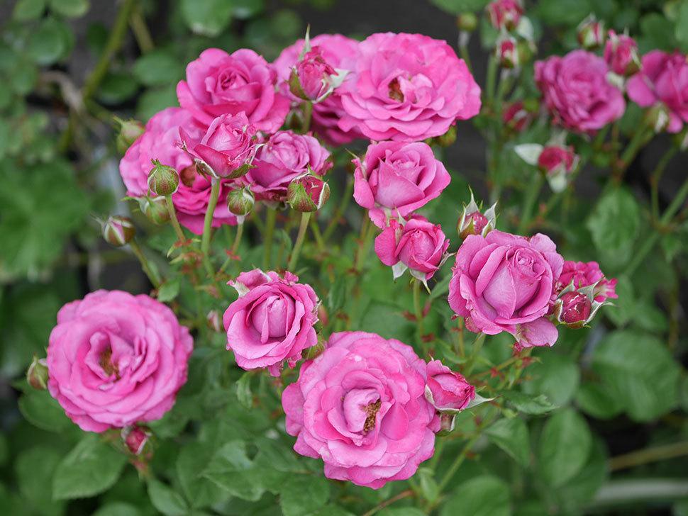 プラムダンディ(ミニバラ)の花がまた房で咲いた。2019年-16.jpg