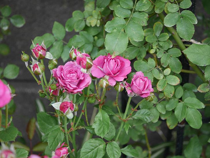 プラムダンディ(ミニバラ)の花がまた房で咲いた。2019年-17.jpg