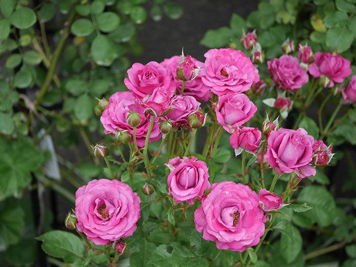 プラムダンディ(ミニバラ)の花がまた房で咲いた。2019年-18.jpg