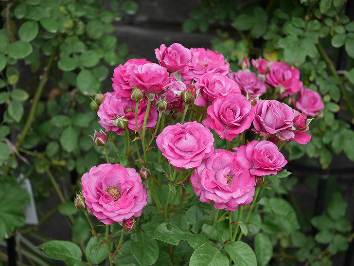 プラムダンディ(ミニバラ)の花がまた房で咲いた。2019年-19.jpg