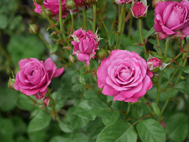 プラムダンディ(ミニバラ)の花がまた房で咲いた。2019年-2.jpg