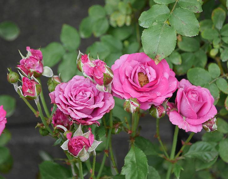 プラムダンディ(ミニバラ)の花がまた房で咲いた。2019年-20.jpg