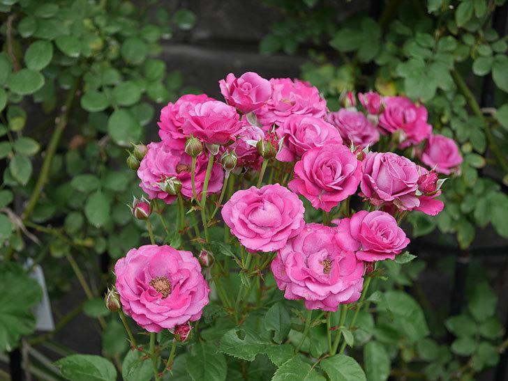 プラムダンディ(ミニバラ)の花がまた房で咲いた。2019年-22.jpg