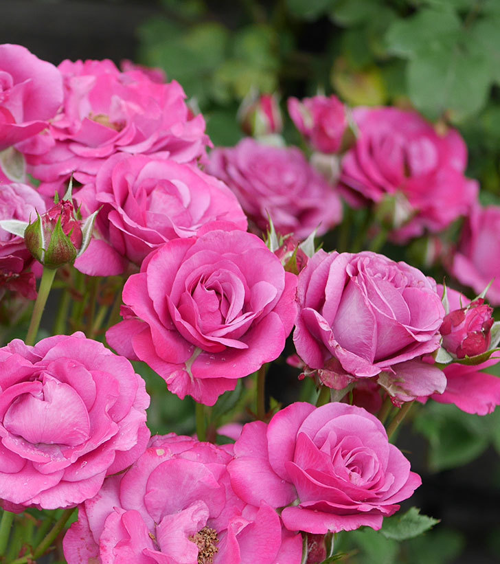 プラムダンディ(ミニバラ)の花がまた房で咲いた。2019年-23.jpg