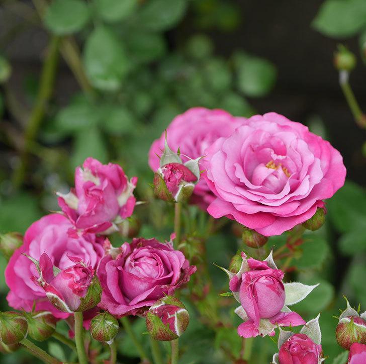 プラムダンディ(ミニバラ)の花がまた房で咲いた。2019年-4.jpg