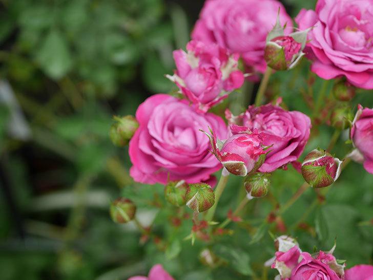 プラムダンディ(ミニバラ)の花がまた房で咲いた。2019年-6.jpg
