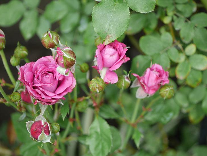 プラムダンディ(ミニバラ)の花がまた房で咲いた。2019年-7.jpg