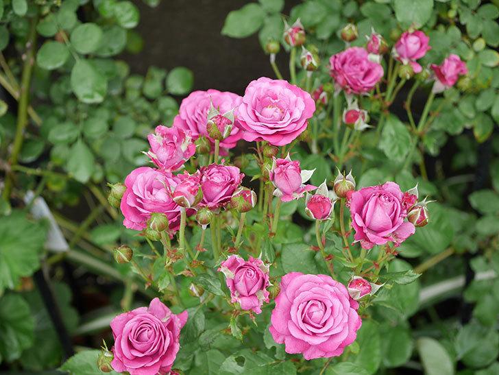 プラムダンディ(ミニバラ)の花がまた房で咲いた。2019年-8.jpg