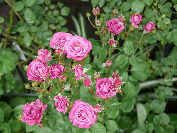 プラムダンディ(ミニバラ)の花がまた房で咲いた。2019年-9.jpg