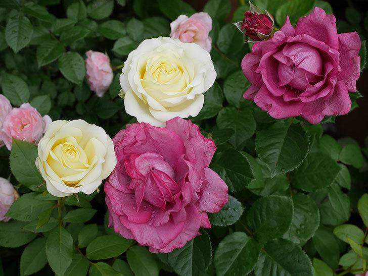プラムダンディ(ミニバラ)の花が増えて来た。2018年-1.jpg