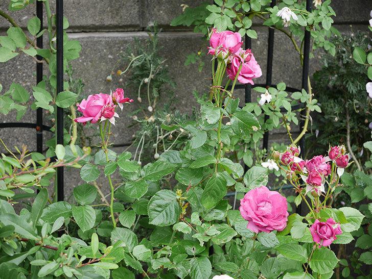 プラムダンディ(ミニバラ)の花が増えて来た。2018年-12.jpg