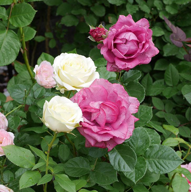 プラムダンディ(ミニバラ)の花が増えて来た。2018年-13.jpg