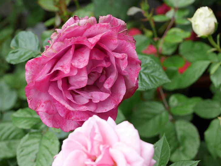 プラムダンディ(ミニバラ)の花が増えて来た。2018年-2.jpg
