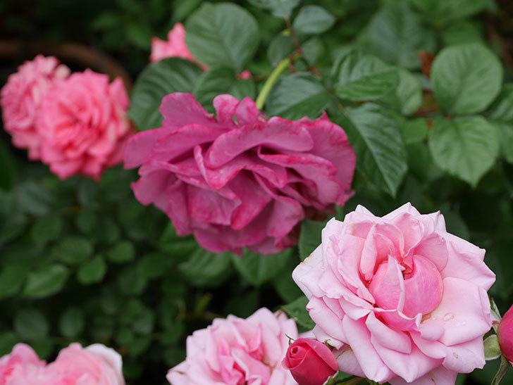 プラムダンディ(ミニバラ)の花が増えて来た。2018年-3.jpg