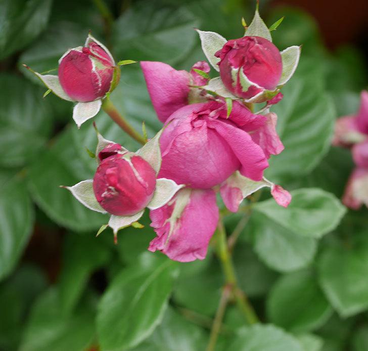 プラムダンディ(ミニバラ)の花が増えて来た。2018年-4.jpg