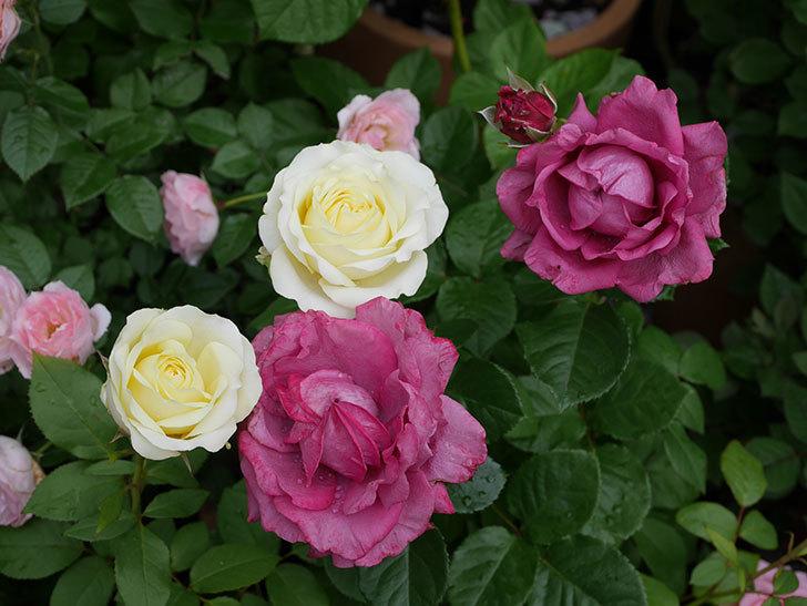 プラムダンディ(ミニバラ)の花が増えて来た。2018年-7.jpg