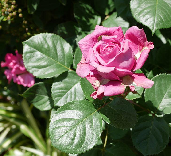 プラムダンディ(ミニバラ)の花が増えて来た。2019年-1.jpg