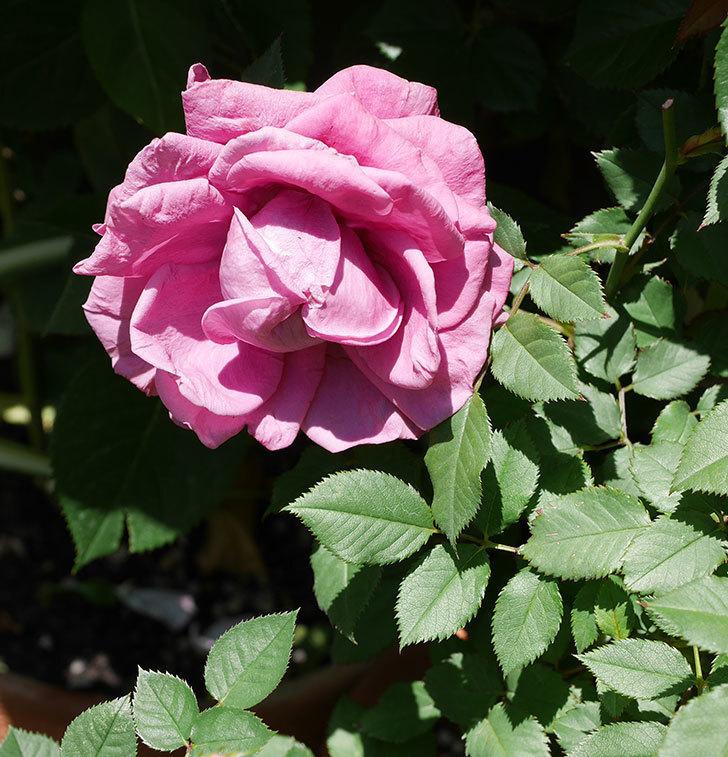 プラムダンディ(ミニバラ)の花が増えて来た。2019年-3.jpg
