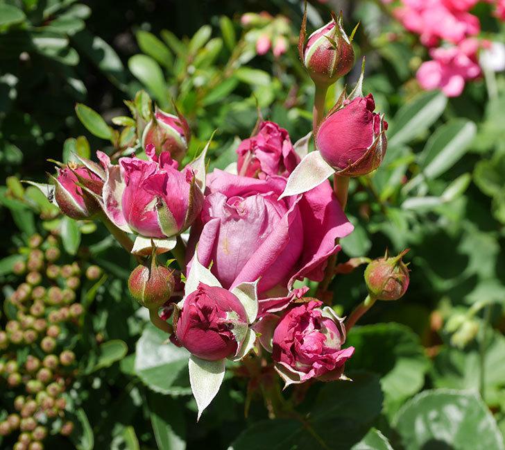 プラムダンディ(ミニバラ)の花が増えて来た。2019年-4.jpg