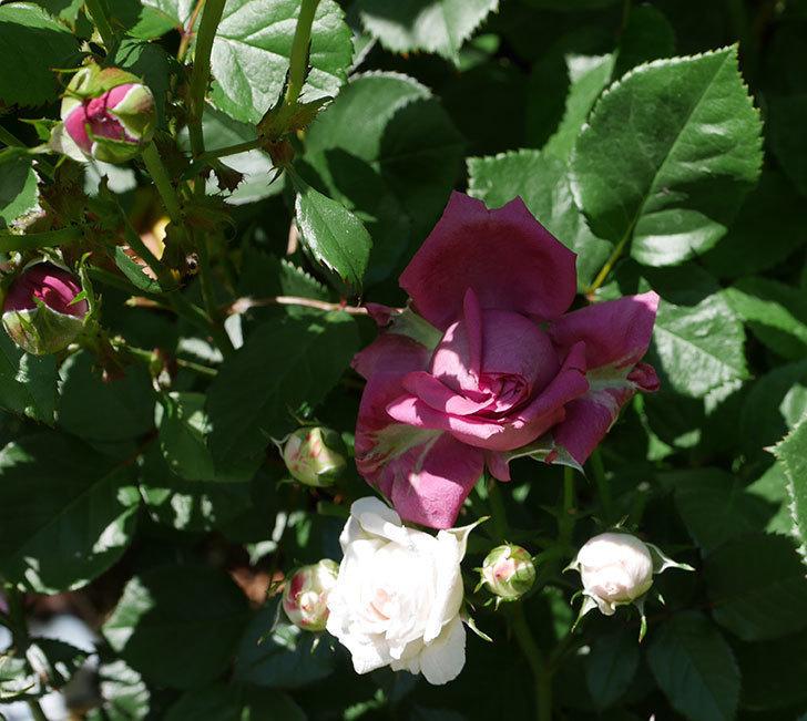 プラムダンディ(ミニバラ)の花が増えて来た。2019年-5.jpg