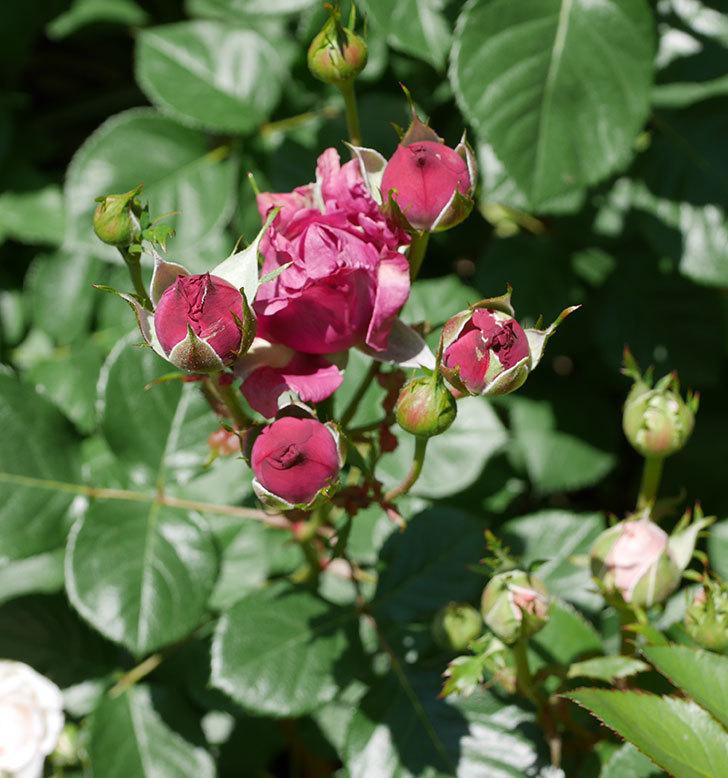 プラムダンディ(ミニバラ)の花が増えて来た。2019年-6.jpg
