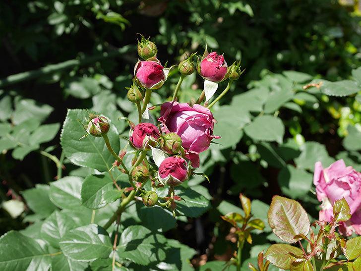 プラムダンディ(ミニバラ)の花が増えて来た。2019年-7.jpg
