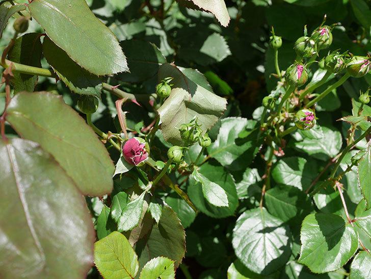 プラムダンディ(ミニバラ)の花が増えて来た。2019年-9.jpg