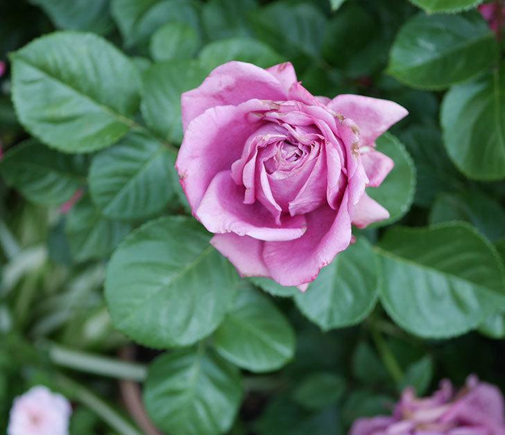 プラムダンディ(ミニバラ)の花が房で咲きだした。2019年-10.jpg
