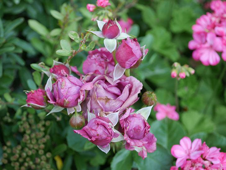 プラムダンディ(ミニバラ)の花が房で咲きだした。2019年-11.jpg