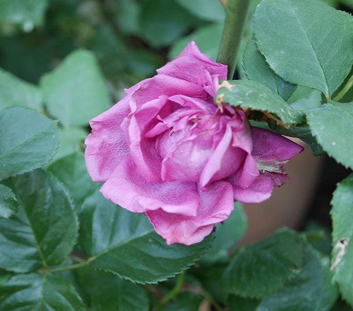 プラムダンディ(ミニバラ)の花が房で咲きだした。2019年-2.jpg