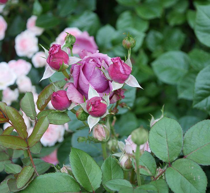 プラムダンディ(ミニバラ)の花が房で咲きだした。2019年-4.jpg