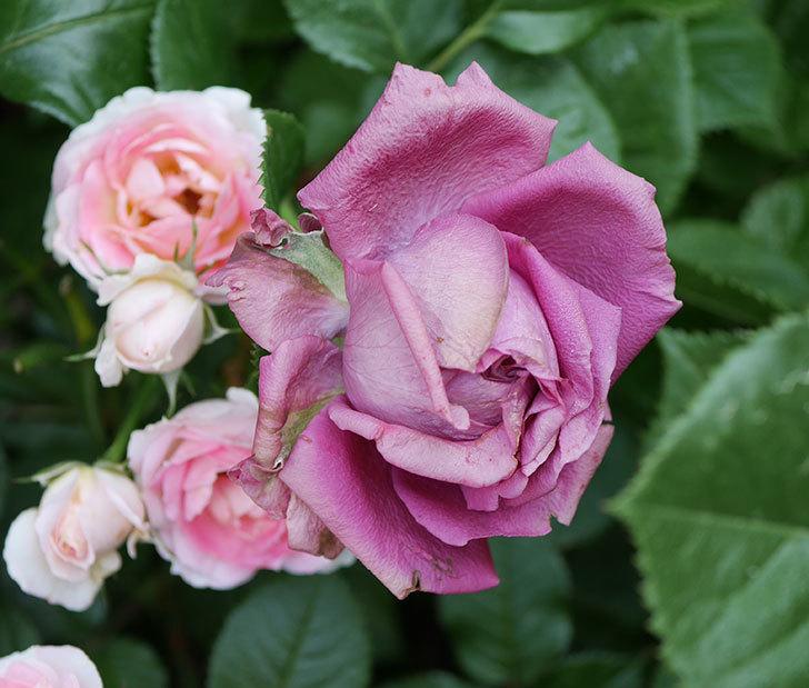 プラムダンディ(ミニバラ)の花が房で咲きだした。2019年-5.jpg