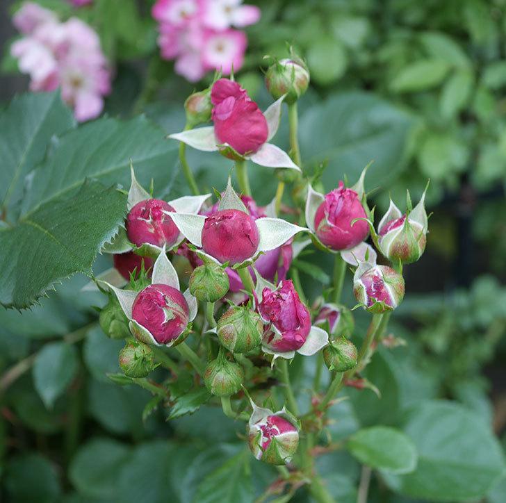 プラムダンディ(ミニバラ)の花が房で咲きだした。2019年-7.jpg