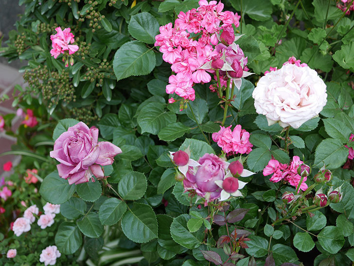 プラムダンディ(ミニバラ)の花が房で咲きだした。2019年-8.jpg