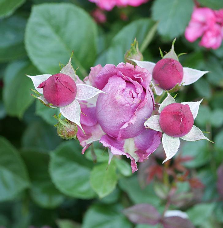 プラムダンディ(ミニバラ)の花が房で咲きだした。2019年-9.jpg