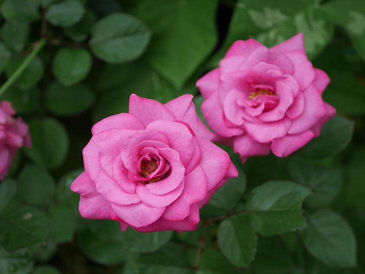 プラムダンディ(Plum Dandy)の2番花がたくさん咲いた。ミニバラ。2020年-001.jpg