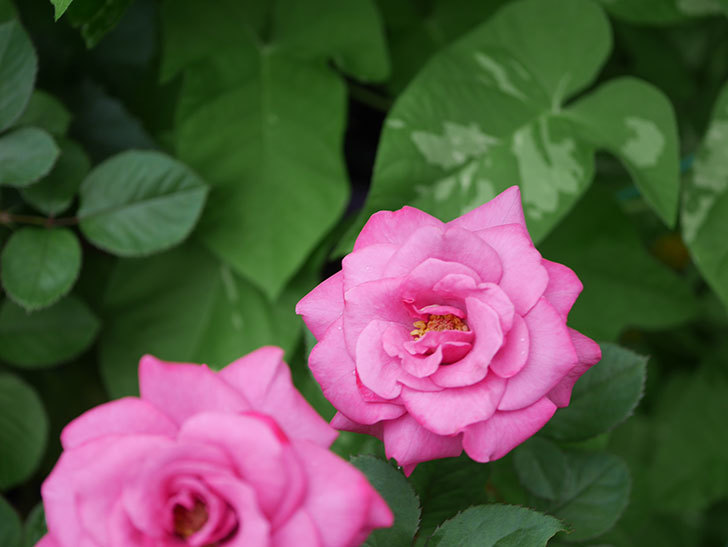 プラムダンディ(Plum Dandy)の2番花がたくさん咲いた。ミニバラ。2020年-002.jpg