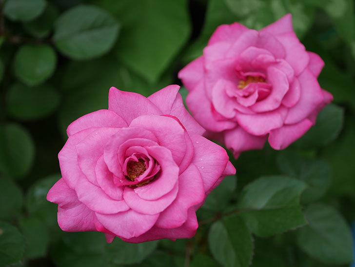 プラムダンディ(Plum Dandy)の2番花がたくさん咲いた。ミニバラ。2020年-003.jpg
