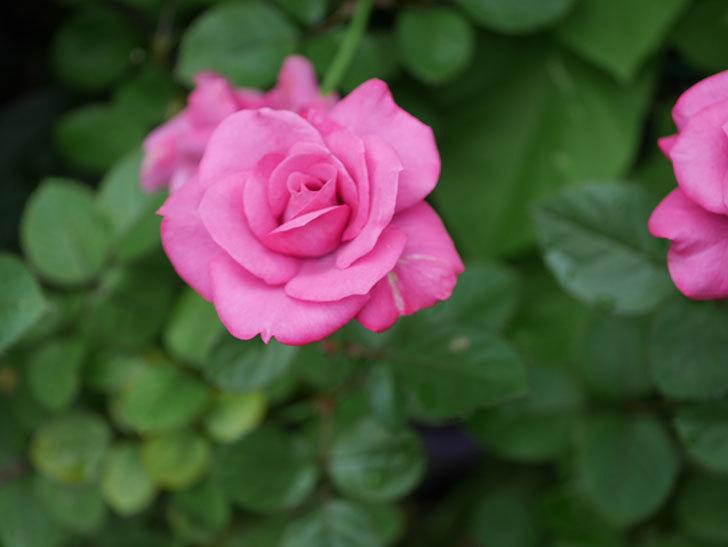 プラムダンディ(Plum Dandy)の2番花がたくさん咲いた。ミニバラ。2020年-005.jpg