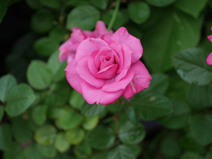 プラムダンディ(Plum Dandy)の2番花がたくさん咲いた。ミニバラ。2020年-007.jpg