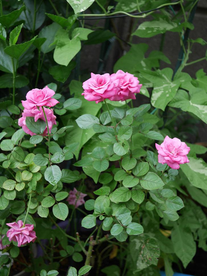 プラムダンディ(Plum Dandy)の2番花がたくさん咲いた。ミニバラ。2020年-008.jpg