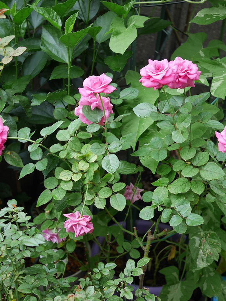 プラムダンディ(Plum Dandy)の2番花がたくさん咲いた。ミニバラ。2020年-009.jpg
